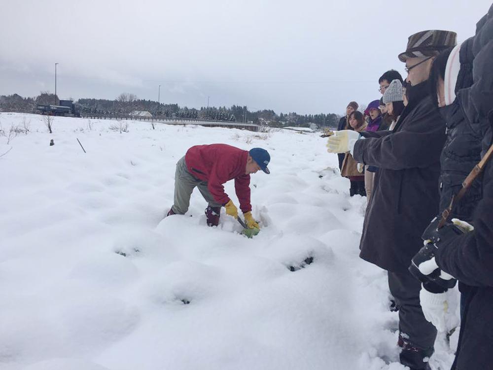 雪下キャベツの収穫